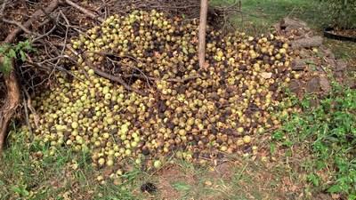 2013 Walnuts (pile)
